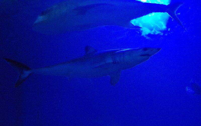 歌山・串本海中公園センターのアオザメ
