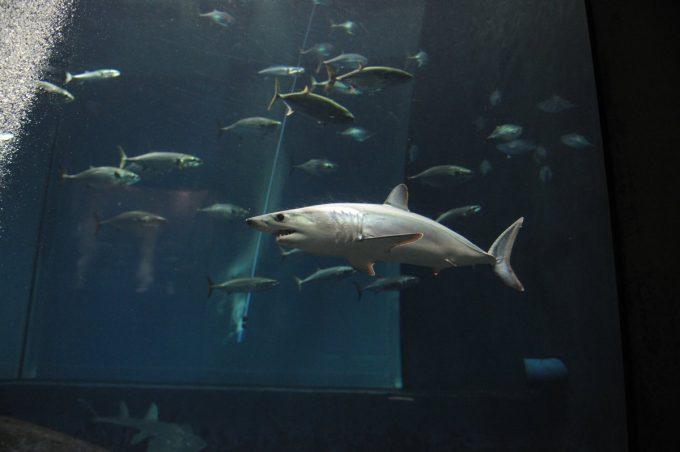 2019年11月20日葛西臨海水族園のアオザメ