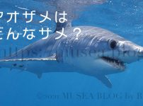 アオザメは危険な人食いサメ?特徴、大きさ、生態、寿命、動画、水族館にいるの?