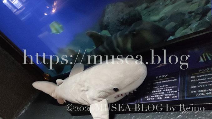 ネコザメの生息域、生態、大きさ、特徴、寿命、動画